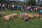 Pig race, Schweinerennen, Rotorua, Agricultural and Pastoral Show, A+P Show, country show