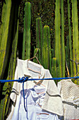 Kakteenzaun vor Kirche, Mitla, Valles Centrales, Oaxaca Mexico