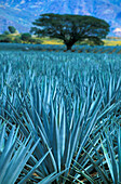 Field with agaves, Mexico, America