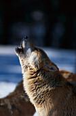 Howling wolf, Mammal, Animal