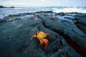 Sally-lightfoot crab, red rock crab, grapsus grapsus, Galapagos Islands, Ecuador, South America