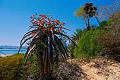Aloe plant, at Lac Anosy, Madagascar