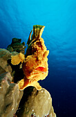 Giant frogfish, Antennarius commersonii