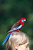 Crimson rosella on woman´s head, Victoria Australia
