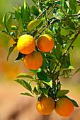 Orange tree with oranges, Peloponnes, Greece