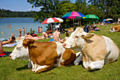 Cows at lake under sunshades, Upper Bavaria, Germa, Cows at lake , Upper Bavaria