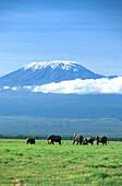 African elephants in front of Mount Kilimanjaro, Kenya, Africa