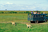 Jeep Safari tour, Tourists taking photographs of Cheetas, Kenya, Africa