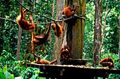Orangutan rehabilitation center, Gunung Leuser National Park, Sumatra, Indonesia, Asia