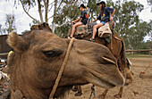 Camel, camel tours, Ross River Homestead, Northern Territory, Australia