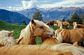 Drove of Haflinger horses near Hafling on an alp in South Tyrol, Italy