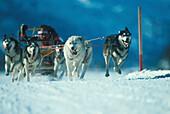 Hundeschlittenrennen, Sport