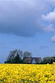 Rape field under clouded sky, Northern Frisia, Schleswig Holstein, Germany, Europe