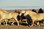 Wild horses in a vast landscape, El Calten, Patagonia, Argentina