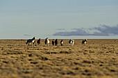 Wild horses in a vast landscape, Patagonia, Argentina