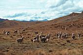 Alpacas, Abancay Peru