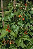 Scarlet runner bean, Phaseolus coccineus, garden, Bavaria, Germany