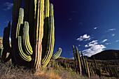 Cardon cactus, Pachycereus pringlei, Catalina Island, Isla Catalan, Mexico, Central America