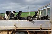 Border Collies in pickup, Australien, South Australia, farmer's dogs being taken to work in pickup