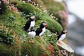 Puffins on a cliff, Fratercula arctica, Shetland Islands, Scotland, Great Britain