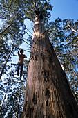 Giant Karri tree used as fire-lookout, Climbing a 60 metre high eucalyptus tree, Western Australia, Australia