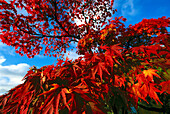 Faecherahorn, Herbstfaerbung, Acer palmatum