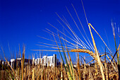 Gerste, Barley, Hordeuum spec. Deutschland