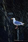 Glaucous-winged Gull in rain, Larus glaucescens, Kenai Fjords National Park, Alaska, USA