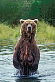 Grizzly female standing upright, Ursus arctos, Brooks River, Katmai Nationalpark, Alaska, USA