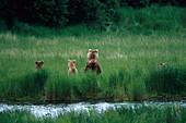 Brown bears at the riverbanks, Katmai National Park, Alaska, USA, America