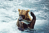 Grizzly with Salmon, Ursus arctos, Brooks River, Katmai Nationalpark, Alaska, USA