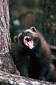 Wolverine with open mouth, Gulo gulo, Sweden