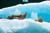 Common Seals on icefloe, Phoca vitulina, Alaska, USA