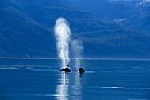 Killer whales off shore, Alaska´s Inside Passage, Alaska, USA, America
