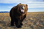 Aggressive Kodiak-Bear, male, Ursus arctos middendorffi, Alaska, USA