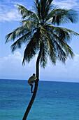 Mann climbing a palm tree, Dominikanische Republik, Caribbean, America