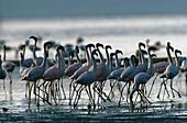Zwergflamingos, Lesser Flamingos Phoenicopterus minor