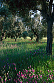 Olive grove and flower meadow, Turkey