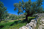 Olive grove and meadow, Turkey