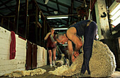 Sheep shearing, in sheep shed, Australia, Victoria, sheep shearer at work at Waratah sheep Station