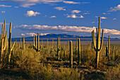 Saguaro Cacti, Sonora Desert, Saguaro National Monument, Arizona, USA