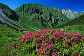 Rhododendron hirsutum growing in the mountains, Lechtaler Alps, Austria
