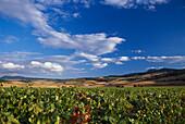 View over a wine yard under a blue sky, Bodega Otazu, Navarra, Spain