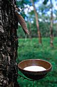 Rubber plantation, Chup, near Kompong Cham, Cambodia, Asia