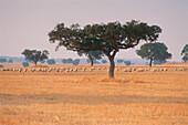 Cork oak trees & sheeps near Sta. Vitoria, Alentejo, Portugal