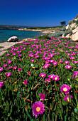 Violet flowers of Sant Amanza, Bonifacio, Corsica, France