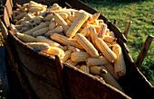 Corn harvest, Gemiera, Portugal