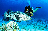 Large fish with diver, Epinephelus, Potato Cod, Cod Hole, Ribbon Reef, Great Barrier Reef, Queensland, Australia