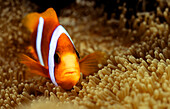 Clown Fish swimming over water plant, Ribbon Reefs, Great Barrier Reef Queensland, Australia
