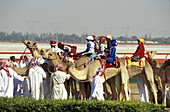People and camels ready for a camel race, Dubai, United Arab Emirates, Middle East, Asia